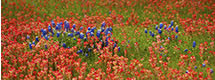 Panorama of Bluebonnets Among Indian Paintbrush, Hill Country, TX